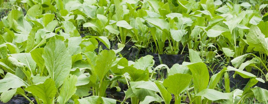 vegetable seedlings ready to plant