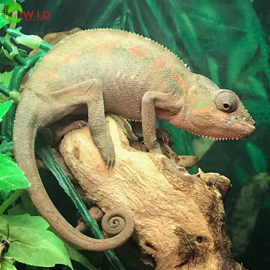 Chameleon pet supply UK