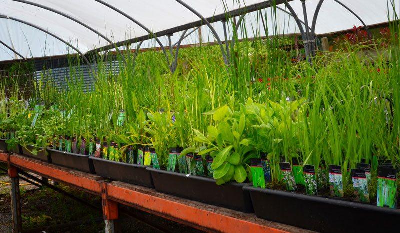 Pond plants UK